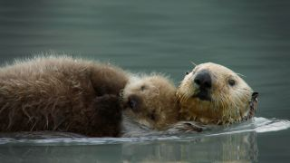 TV tonight: a sea otter mum cares for her fluffy pup.