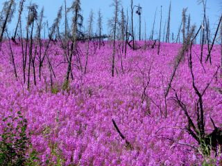 Fireweed growing in Alaska after a wildfire