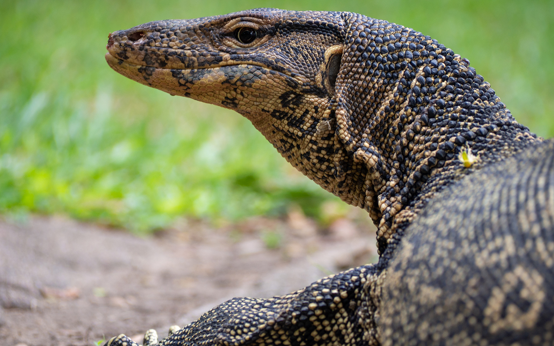 There Be Dragons: 6-Foot-Long Lizard Terrifies Florida