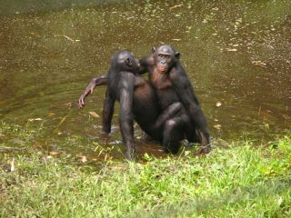 female bonobo having sex with another female bonobo