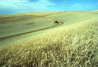 wheat, sweet wheat