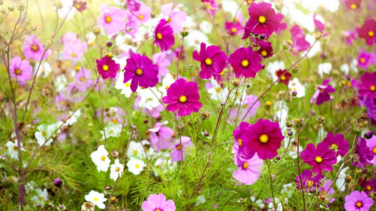 Vibrant pink and white summer flowering Cosmos flowers in soft summer sunshine