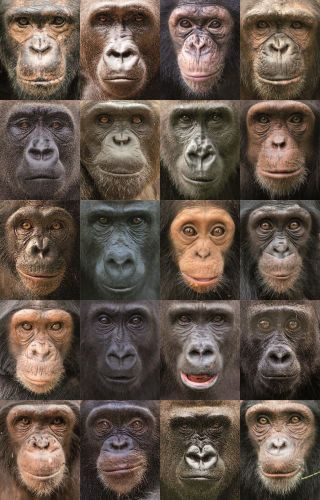 chimpanzees and gorillas