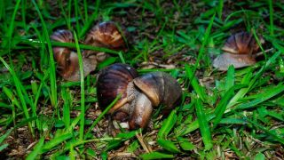 several giant african land snails in green grass; two are mating in the foreground