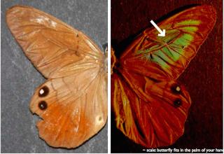The butterfly Pierella luna.