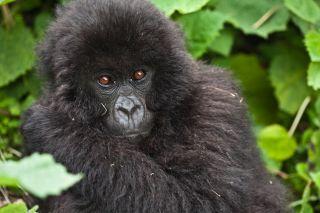 mountain-gorilla-wcs