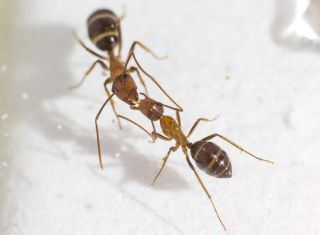 When carpenter ants (<em>Camponotus floridanus</em>) swap spit, they are doing more than share food. Turns out, they're sending messages, too.