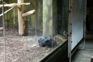 Chimpanzees at Czech zoos video chat because they're bored during lockdown.