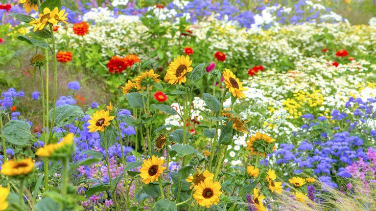 best cutting garden flowers: flowerbed with sunflowers