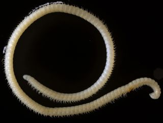 """A new species of millipede (<em>Illacme tobini</em>) with about 414 legs and four """"penises"""" was discovered in a cave in Sequoia National Park in California."""