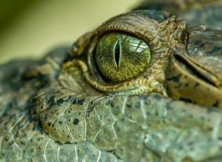 A close up shot of a crocodile eye