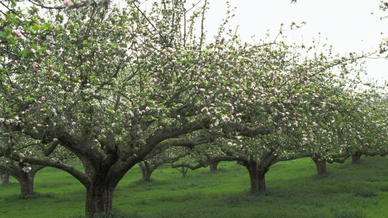 apple trees in blossom in an orchard