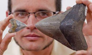 Dana Ehret, compares megalodon teeth