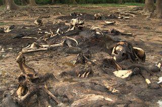 Dzanga bai elephant slaughter, poaching