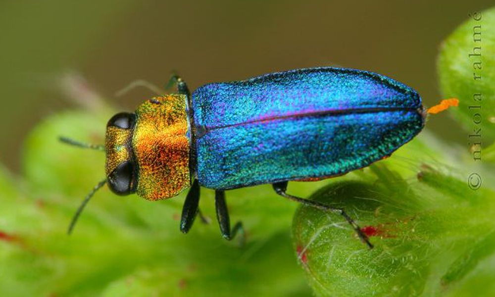 Image Gallery: Shimmering Metallic Beetles | Live Science