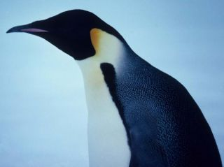 emperor penguin, animal facts, fun facts