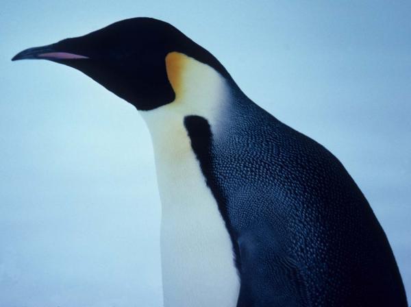 Emperor Penguin Nest