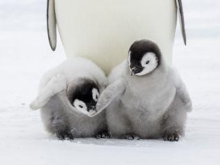 Emperor penguin chicks in Antarctica.