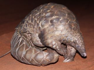 A pangolin in the dark