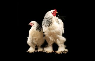 Handsome Brahma chickens are larger than many other types of chickens, and were likely the breed recently featured in a viral internet video.
