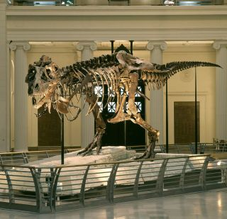 The fossilized skeleton of a Tyrannosaurus rex dinosaur nicknamed Sue.