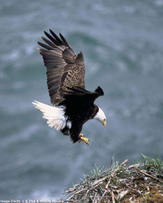 Eagle Without Beak