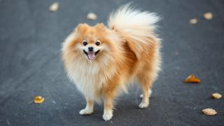 Close up of small red Pomeranian dog standing on concrete with autumn leaves