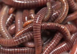 Will Two Worms Grow from a Worm Cut in Half? | Earthworms