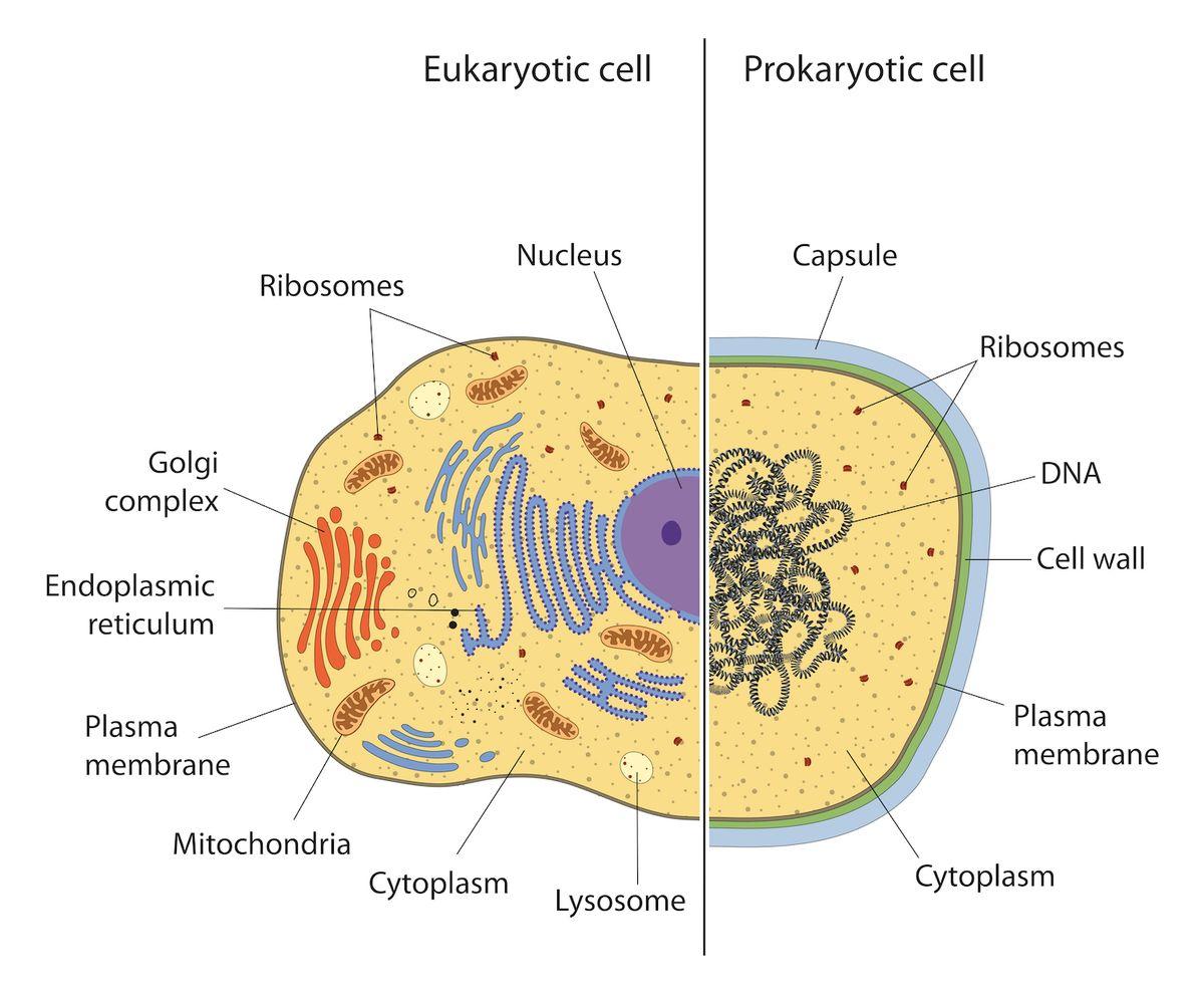 Image result for prokaryotic vs. eukaryotic cells