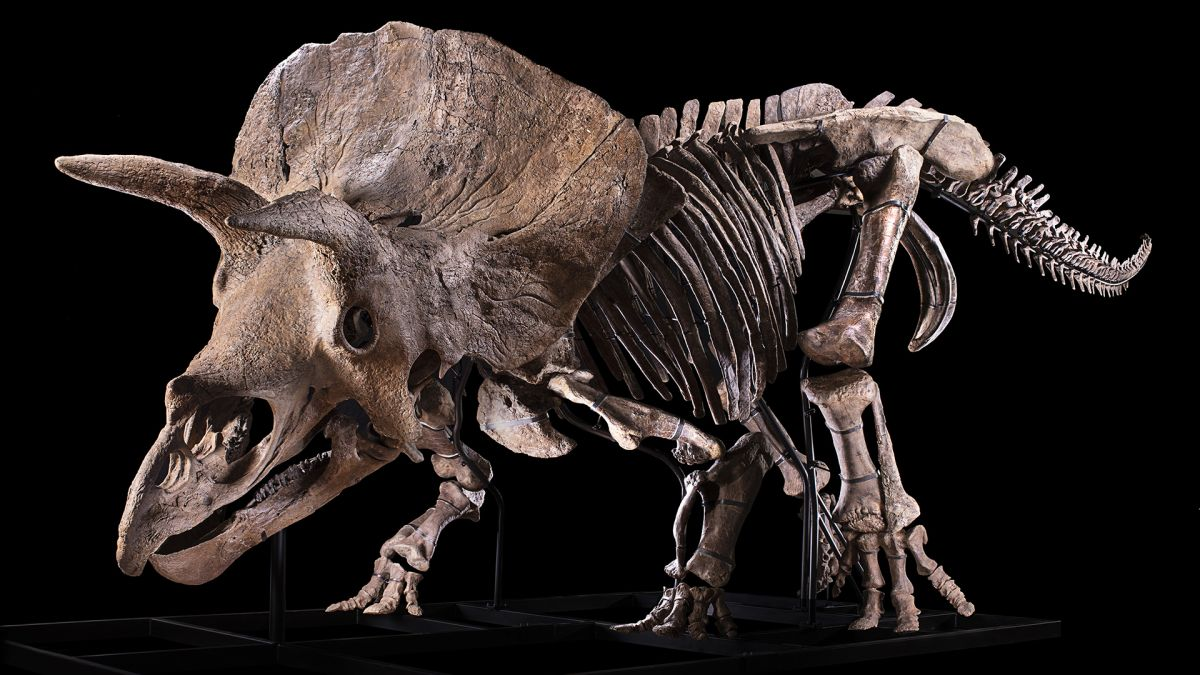 Who will buy 'Big John' the biggest triceratops ever found? – Livescience.com