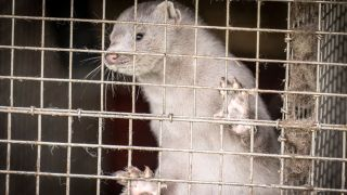 A photo of a mink in a farm in Hjoerring, in North Jutland, Denmark, on October 8, 2020