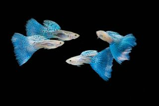 animals, guppies, poecilia reticulate, social bonds, sexual harassment, shoaling behavior, social networks, animal friendships, guppy