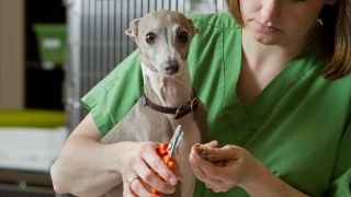 Are dog nail clippers or grinders better? Vet cutting Whippet dogs nails with clippers