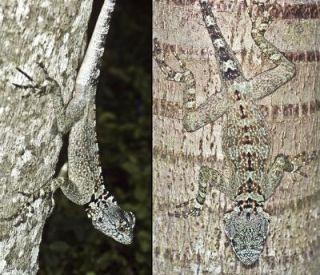 Plica Caribeana