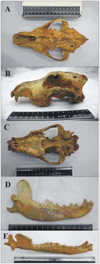 Altai dog skull