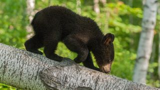 Young Californian black bears are becoming fearless due to a deadly and mysterious brain infection.