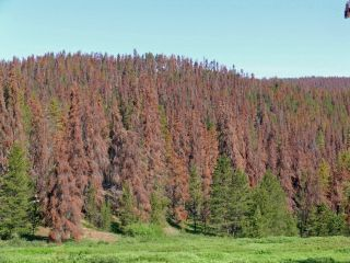 A Colorado hillside that should be green with living lodgepole pines is brown and dead because of an infestation by mountain pine beetles.