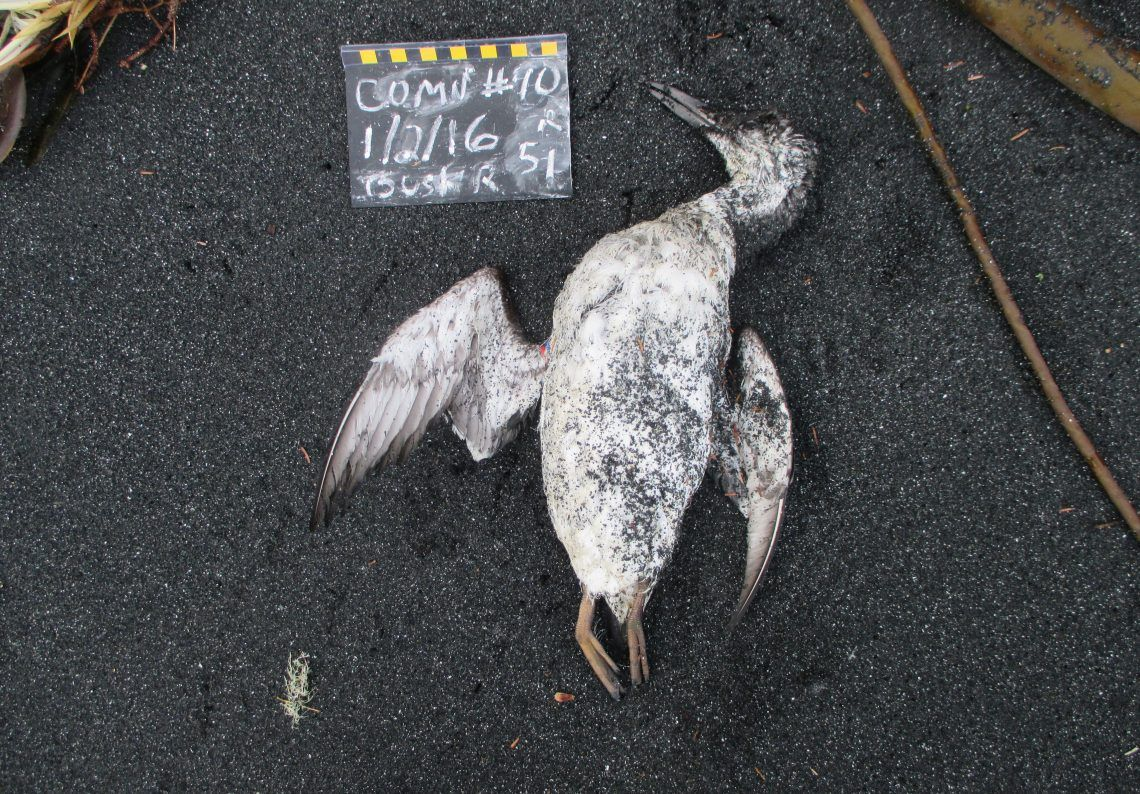 A Hot Blob in the Pacific Ocean Caused 1 Million Seabirds to Die