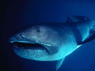 The megamouth shark, shown here, is an extremely rare species of deepwater shark.