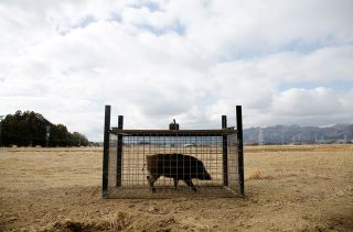 A wild boar is caught in a trap near a residential area in an evacuation zone close to the tsunami-crippled Fukushima Daiichi nuclear power plant in Fukushima prefecture, Japan, on Feb. 28, 2017.