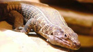 lizard--rock-100513-02