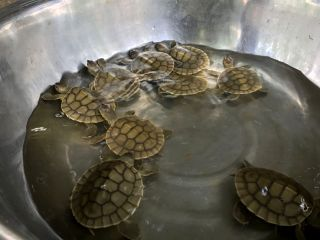 cambodian-royal-turtle-hatchlings.JPG