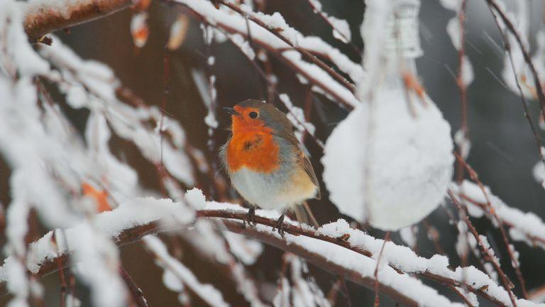 robin in a snowy garden