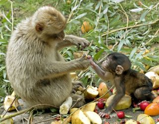 mother monkey feeds her baby fruit