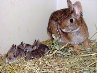 Baby New England cottontail rabbits at the captive breeding program at the Roger Williams Park Zoo in Rhode Island.