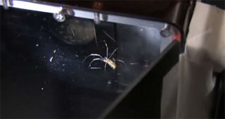 This still from a NASA video shows one of two venemous golden orb spiders in an enclosure on the International Space Station. The spiders, Gladys and Esmerelda, were delivered to the station by NASA's shuttle Endeavour during the STS-134 mission in May 20