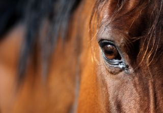 An Arabian bay horse eye