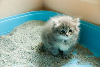 An adorable gray kitten sitting in a litter box.