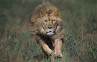 This wildlife photography shows the true beauty of lions