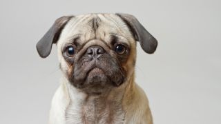 Pugs: Portrait of a Pug against grey background